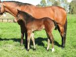 Breednet Gallery - So You Think (NZ) Vinery Stud, NSW