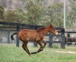 Breednet Gallery - Star Witness Kitchwin Hills, NSW