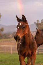 Breednet Gallery - Your Song Willow Park Stud, NSW