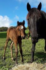 Breednet Gallery - Belardo (Ire) Woodbine Farm, NZ