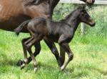 Breednet Gallery - Ready For Victory Bombora Downs, Vic