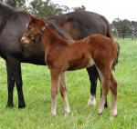 Breednet Gallery - Air Force Blue (USA) Coolmore, NSW