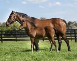 Breednet Gallery - No Nay Never (USA) Torryburn Stud, NSW