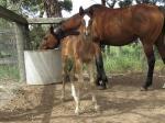 Breednet Gallery - Warhorse (NZ) Bombora Downs, Vic
