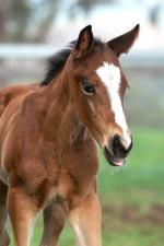 Breednet Gallery - Vancouver Willow Park, NSW