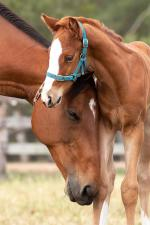 Breednet Gallery - Dream Ahead (USA) Willow Park, NSW