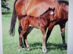Breednet Gallery - Wolf Cry Larneuk Stud, Vic