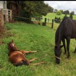 Breednet Gallery - Husson (Arg) Hazelwood Stables