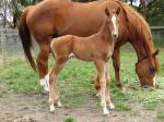 Breednet Gallery - Warhorse Bombora Downs. Vic