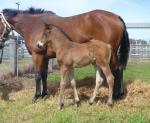 Breednet Gallery - Dylan Thomas (IRE) Tooloogan Vale