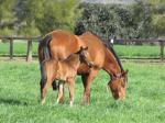 Breednet Gallery - Myboycharlie (IRE) Amarina Farm