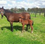 Breednet Gallery - Where's That Tiger (USA) A Russell