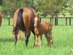 Breednet Gallery - Nicconi Amarina Farm