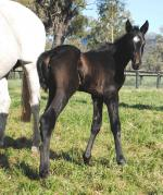 Breednet Gallery - Canny Lad Kitchwin Hills