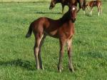 Breednet Gallery - Nothing to Lose (USA) Byerley Stud