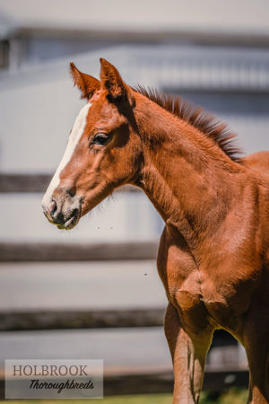 Breednet Gallery - Pariah Holbrook Thoroughbreds, NSW