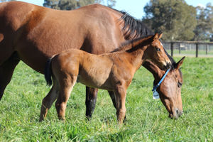 Breednet Gallery - Smart Missile Twin Hills Stud, NSW