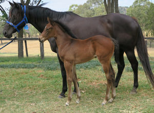 Breednet Gallery - Exceed and Excel Davali Thoroughbreds, NSW