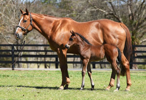 Breednet Gallery - I Am Invincible Torryburn Stud, NSW