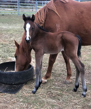 Breednet Gallery - No Nay Never (USA) Breeders, Steve & Cheryl Read, born at Darke's Forest