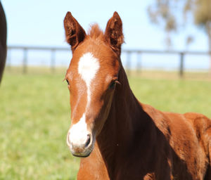 Breednet Gallery - Pride of Dubai Out of stakes placed US mare Golden Phoenix