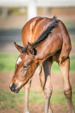Breednet Gallery - Shalaa (IRE) Holbrook Thoroughbreds for Bob and Sandra Peters