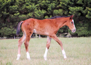 Breednet Gallery - Toronado (IRE) Lime Country Thoroughbreds, NSW