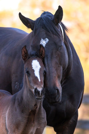 Breednet Gallery - Churchill (IRE) Willow Park, NSW