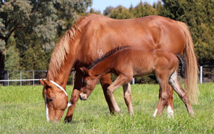 Breednet Gallery - Epaulette Lime Country Thoroughbreds, NSW
