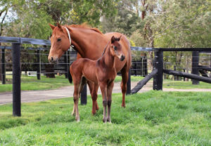 Breednet Gallery - Lonhro Lime Country Thoroughbreds, NSW