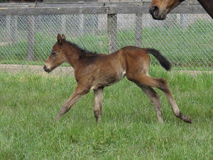 Breednet Gallery - Charge Forward Bombora Downs. Vic