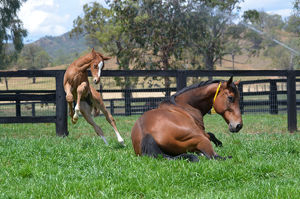 Breednet Gallery - More Than Ready (USA) Kitchwin Hills, NSW