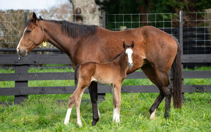 Breednet Gallery - Eminent (IRE) Cambridge Stud, NZ