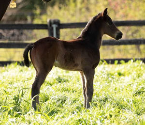 Breednet Gallery - So You Think Torryburn Stud, NSW for Mr K Orth