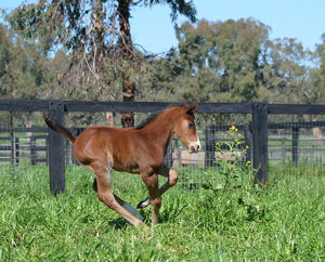 Breednet Gallery - I Am Invincible Kitchwin Hills, NSW