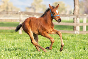 Breednet Gallery - I Am Invincible Willow Park, NSW