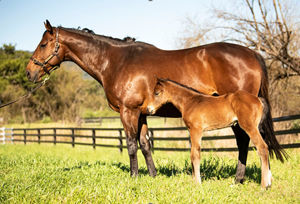Breednet Gallery - Exceed and Excel Torryburn Stud, NSW