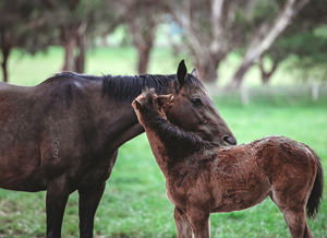 Breednet Gallery - National Defense (GB) Bred by Alpha Thoroughbreds pictured at Tarcoola Stud