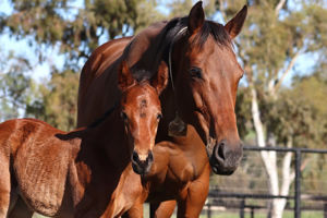 Breednet Gallery - Exceed and Excel Twin Hills Stud, NSW