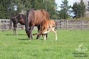 Breednet Gallery - Charm Spirit (IRE) Windsor Park Stud, NZ