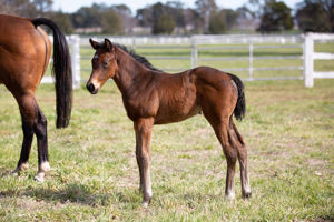 Breednet Gallery - Santos Foaled at Gooree for Aquis.