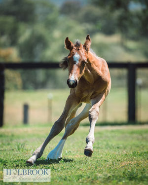 Breednet Gallery - Showtime Holbrook Thoroughbreds, NSW