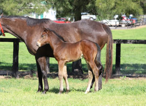 Breednet Gallery - Blue Point (IRE) Segenhoe Stud for Amelia Racing and Breeding