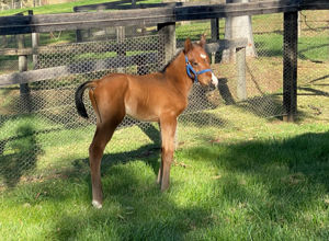 Breednet Gallery - Deep Field Fairview Park, NSW  for Mystery Downs