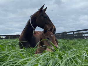 Breednet Gallery - I Am Invincible Yulong, Vic