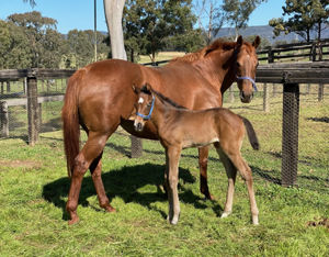 Breednet Gallery - Flying Artie Fairview Park, NSW for Rob Coquhoun
