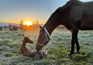 Breednet Gallery - I Am Invincible Sledmere Stud, NSW