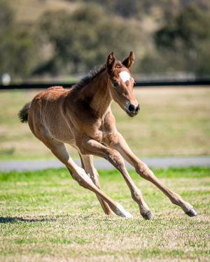 Breednet Gallery - Headwater Holbrook Thoroughbreds,  NSW for Bob and Sandra Peters