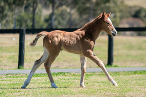 Breednet Gallery - Trapeze Artist Holbrook Thoroughbreds for Bob and Sandra Peters
