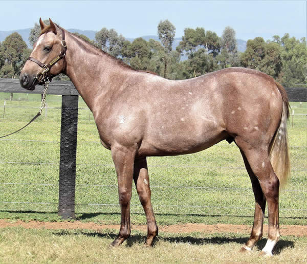 Reliable Man at Australian Easter Yearling Sale